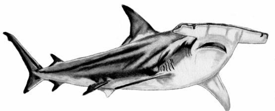 Le requin marteau fusain mes dessins - Dessin de marteau ...