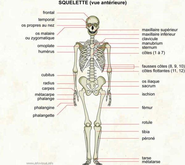 antérieure): Ensemble des os composant la charpente du corps humain ...
